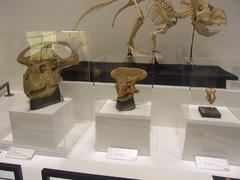 20140212国立科学博物館/大恐竜展/プロトケラトプス大中小.jpg