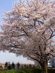 20140401鴨居の桜2.jpg
