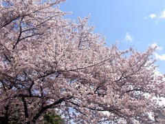 20140403桜木町の桜1.jpg