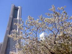 20140403桜木町の桜2.jpg