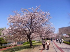 20140403桜木町の桜3.jpg