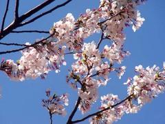 20140403桜木町の桜5.jpg