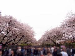 20140405上野公園の桜2.jpg