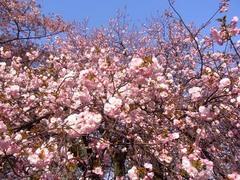 20140409新宿御苑の桜2.jpg
