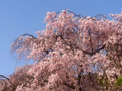 20140409新宿御苑の桜3.jpg