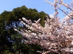 20140409新宿御苑の桜4.jpg
