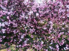 20140409新宿御苑の桜5.jpg