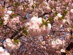 20140409新宿御苑の桜7.jpg