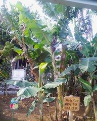 おきなわワールド・バナナの樹