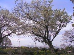 港の見える丘公園の桜1