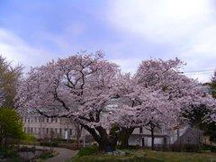 港の見える丘公園の桜2