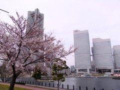 桜木町の桜1