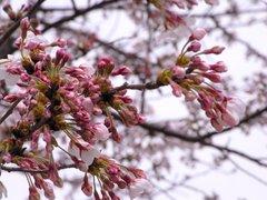 桜木町の桜2