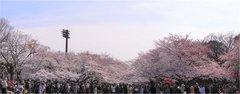 上野の桜3パノラマ