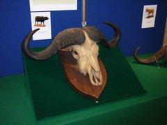 水牛の頭蓋骨.jpg