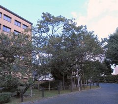 石割桜1.jpg
