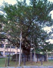 石割桜2.jpg