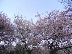 大島桜と一葉.jpg