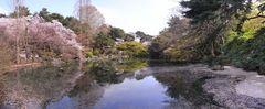 池に映る桜.jpg
