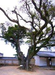唐津城本丸大木
