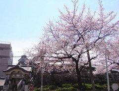 湯島天神の桜