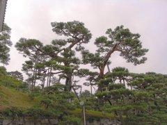 二本松城石垣の上のアカマツ.jpg