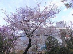 六本木ヒルズの桜.jpg