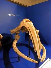 セミクジラの頭蓋骨.jpg