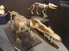 パキケトゥスとアンブロケトゥス(鯨の祖先).jpg