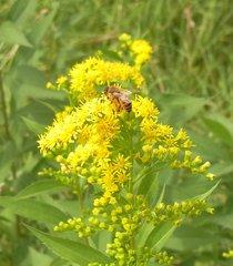 富良野・花と蜂.jpg