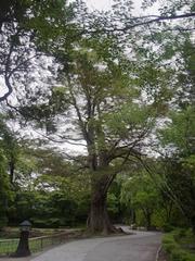 小諸城・大欅.jpg