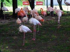 旭山動物園・フラミンゴ.jpg