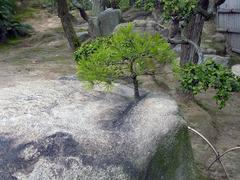 玉藻公園・ど根性松.jpg
