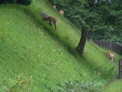 知床・バスから見た鹿1.jpg