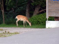 知床五湖・レストハウス近くに現れた鹿.jpg