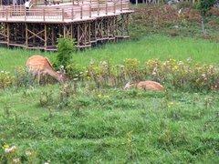 知床五湖・高架木道から見た鹿2.jpg