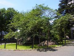 石割り桜.jpg