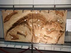 福島県立博物館/カモノハシリュウとアルバートサウルス.jpg