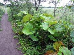 釧路湿原・トトロの葉.jpg