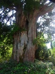 高原バス・杉の巨木.jpg