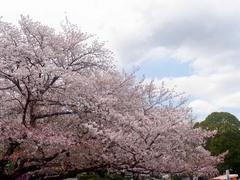 20140405上野公園の桜1.jpg