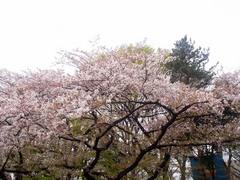 20140405上野公園の桜3.jpg