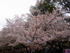 20140405上野公園の桜4.jpg