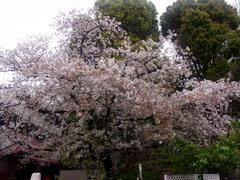 20140405上野公園の桜5.jpg