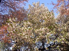 20140409新宿御苑の桜1.jpg