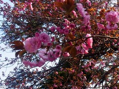 20140409新宿御苑の桜6.jpg
