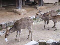 宮島・紙切れを食べる鹿