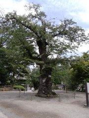上杉神社そめいよしのの大木.jpg