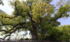 和歌山城・一の橋の樟樹.jpg
