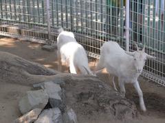 和歌山城・動物園・ヤギ.jpg